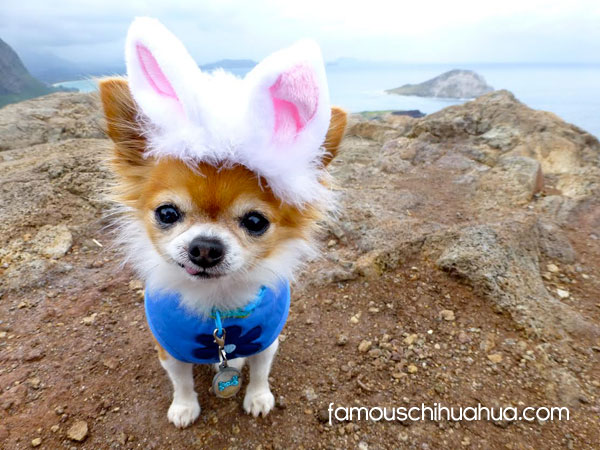 easter bunny chihuahua