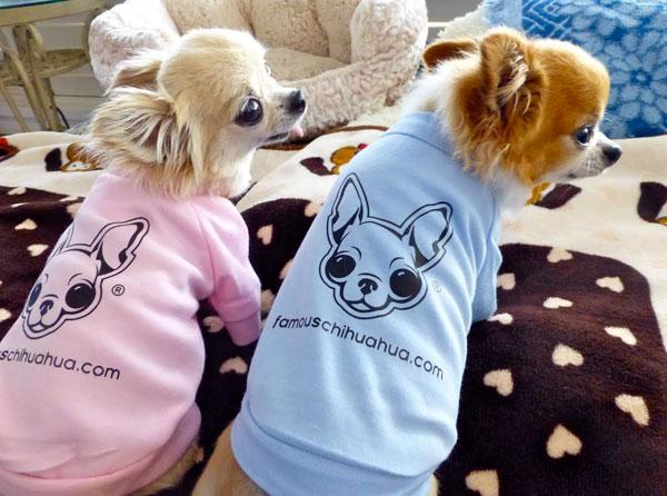 teacup chihuahuas wearing shirts