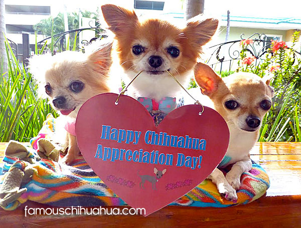 sale on chihuahua clothes and accessories