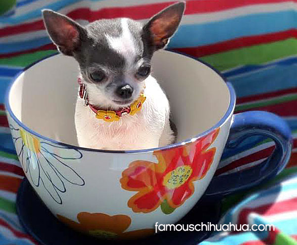 teacup chihuahua picture