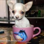 white teacup chihuahua