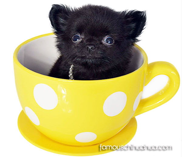 teacup chihuahua pup in a cup
