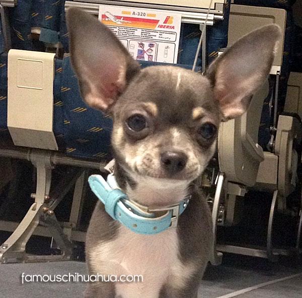 blue chihuahua dog