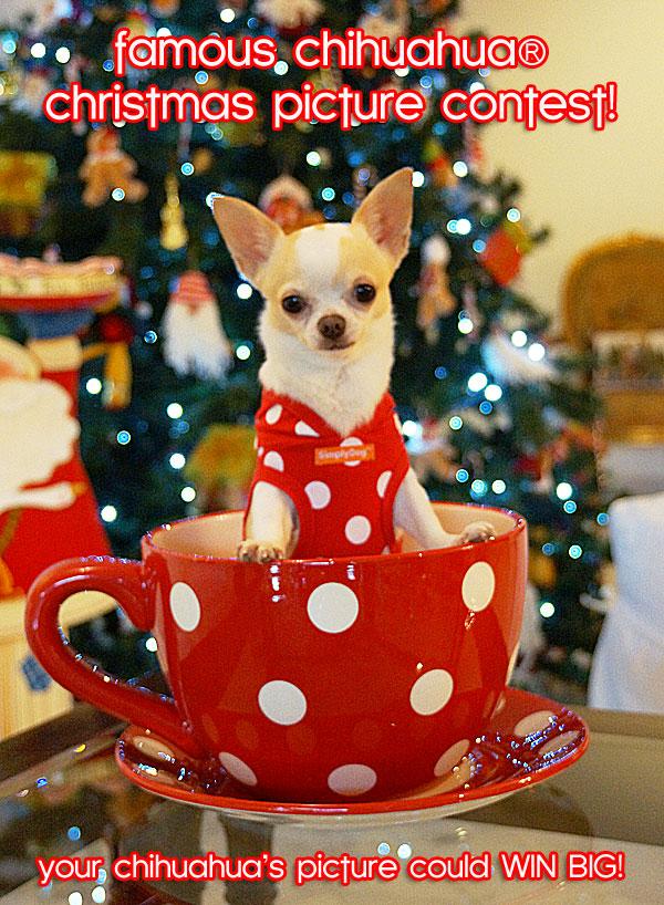christmas chihuahua contest
