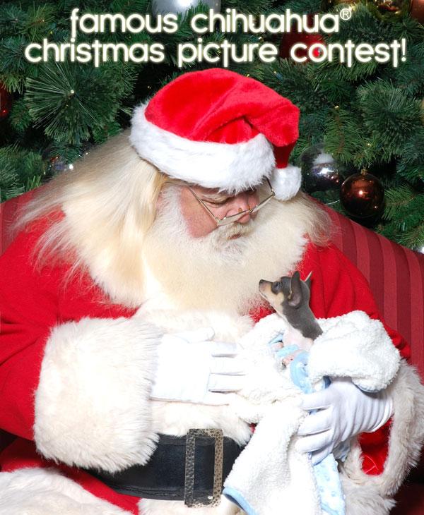 chihuahua christmas contest