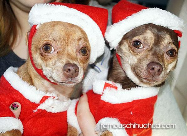 chihuahua santa dogs