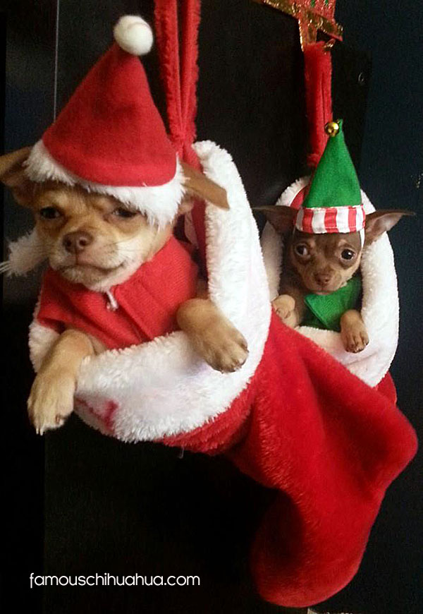 chihuahua stocking stuffers