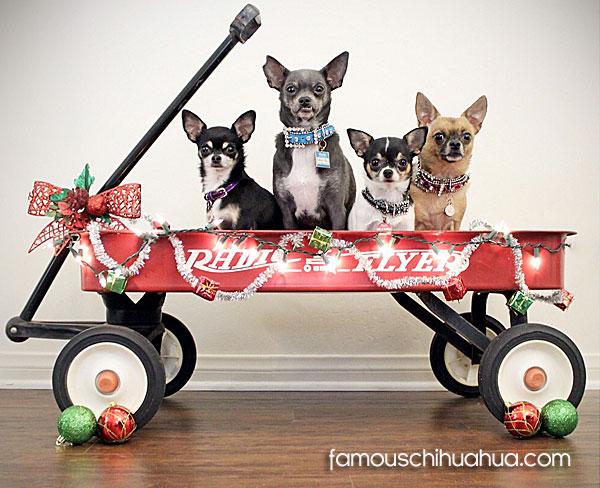 4 chihuahuas in wagon