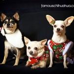 three amigo chihuahuas
