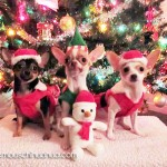 cute christmas chihuahuas