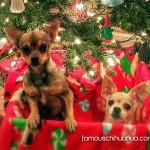 chihuahuas in christmas box
