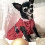 cute christmas chihuahua