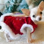 cute christmas chihuahua puppy