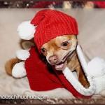 cute chihuahua santa hat