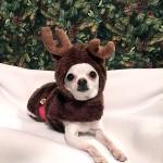 chihuahua reindeer