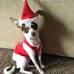 cute santa chihuahua