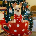 christmas teacup chihuahua