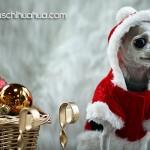 tiny christmas chihuahua
