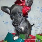 blue christmas chihuahua