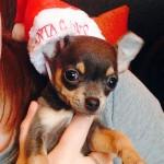 tiny chihuahua in santa hat