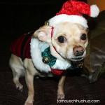 christmas elf chihuahua