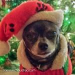 rescue chihuahua santa