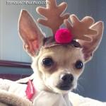 cute chihuahua reindeer