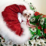 chihuahua christmas picture