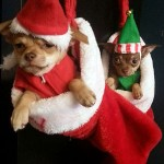 chihuahuas in christmas stocking