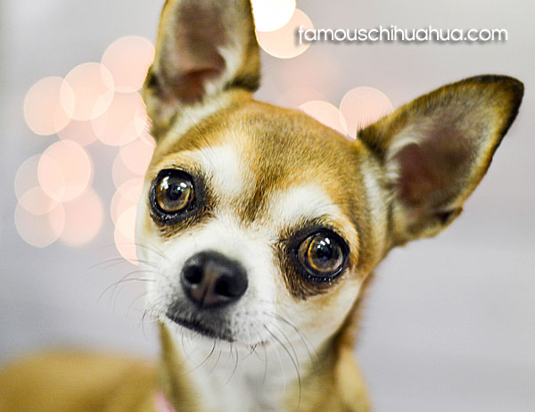 tan applehead chihuahua