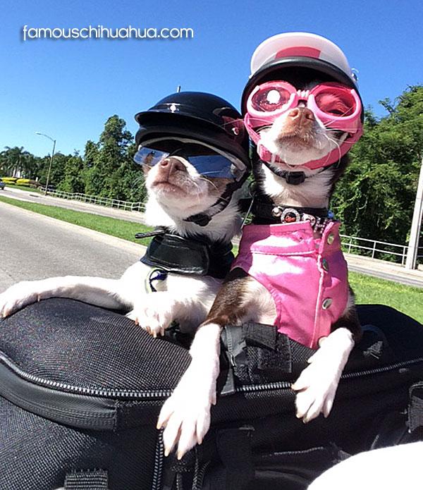 motorcycle biker chihuahuas