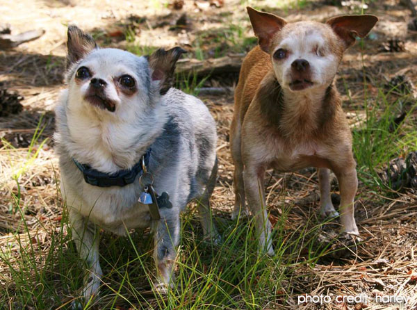 puppy mill chihuahuas
