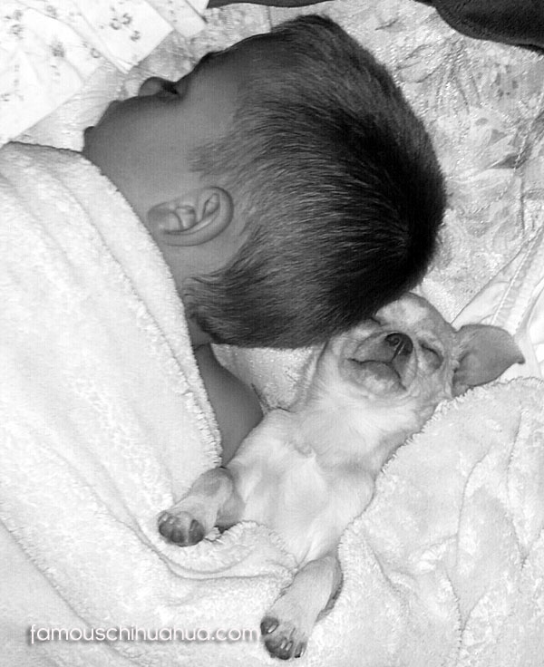 boy sleeping with chihuahua puppy