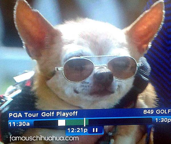 golf chihuahua