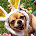 bunny easter chihuahua