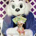 chihuahua with easter bunny