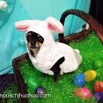bunny chihuahua dog
