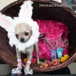 teacup chihuahua bunny