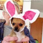 chihuahua bunny dog