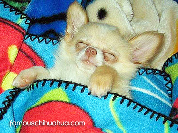 chihuahau tucked in bed