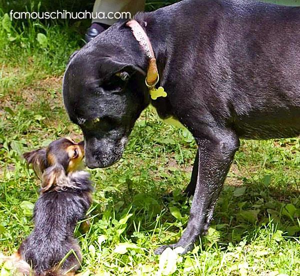 chihuahua sniffing big dog