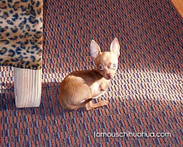 2 legged chihuahua