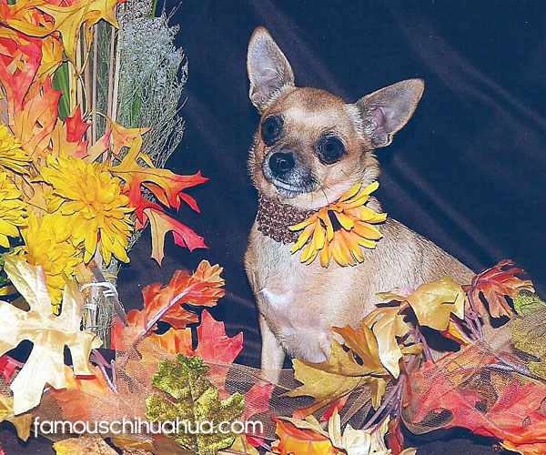 lucy ball famous applehead chihuahua
