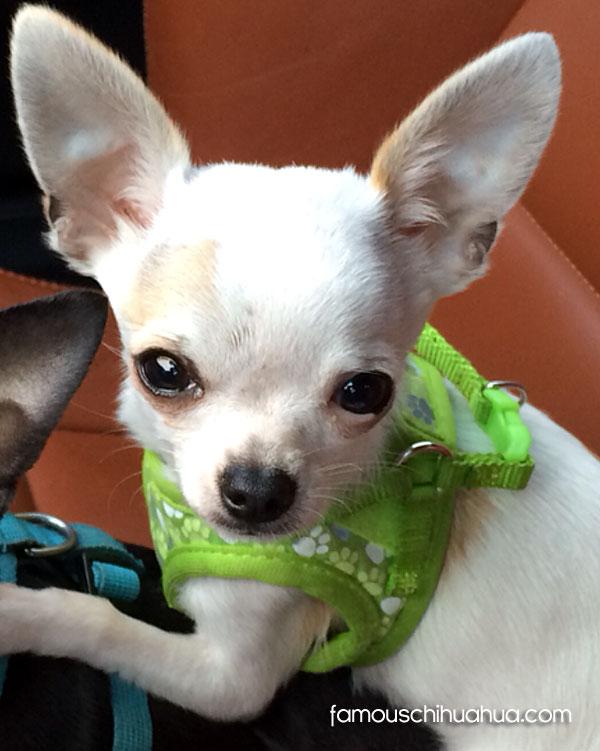 white applehead chihuahua puppy