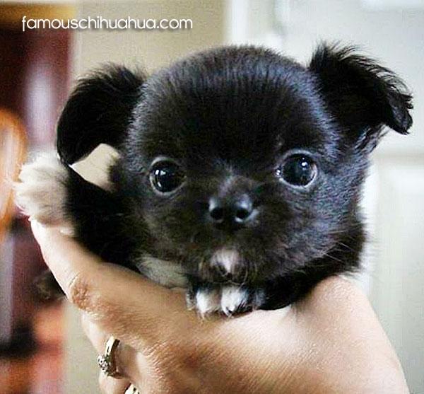 worlds cutest chihuahua