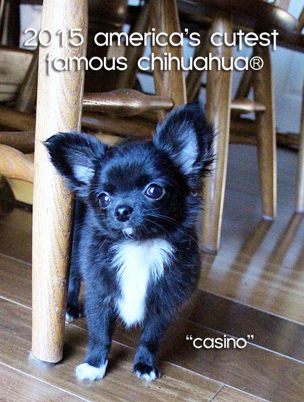 cutest chihuahua in america