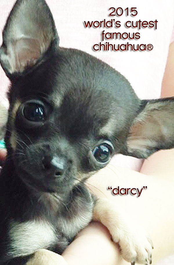 darcy-worlds-cutest-chihuahua