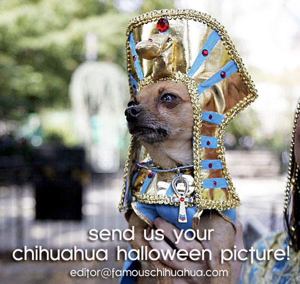 chihuahua halloween costume