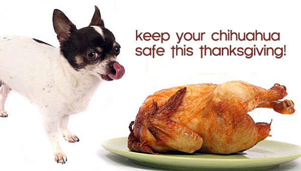 chihauhua thanksgiving safety tips
