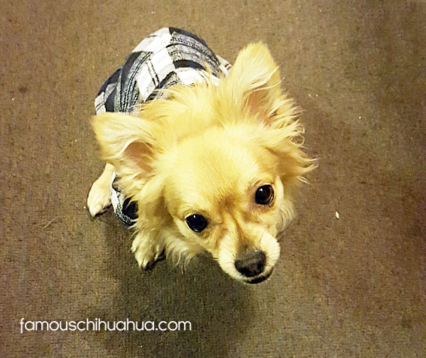 long haired tan chihuahua